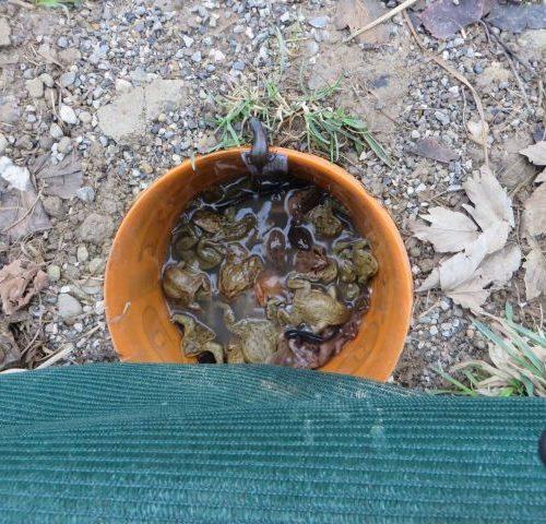 Die Amphibien am Eimerboden kommen wegen der Enge nicht an Luft.
