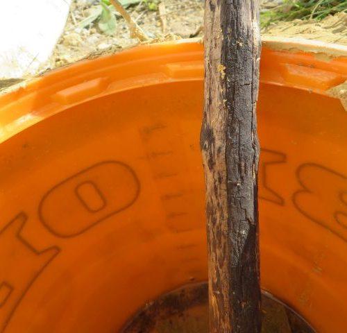 Die Fangmethode wurde seit einigen Tagen geändert. Die Experten haben nun erkannt, dass die Hüpferlinge wieder aus dem Eimer krabbeln. Ein kleiner Überstand am Eimerrand soll verhindern, dass die Hüpferlinge entkommen.