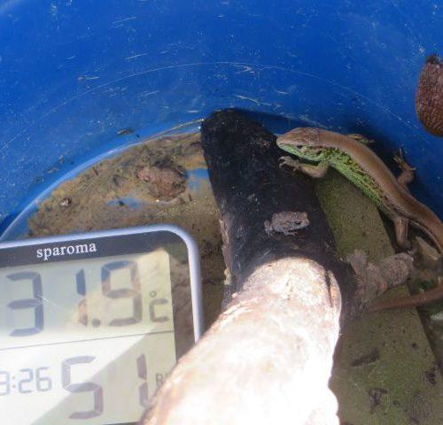 Die Zauneidechse - FFH Richtlinie Anhang IV streng zu schützenden Art - und die 2 Krötenhüpferlinge müssen bei 31 Grad am trockenen Eimerboden  bis  zum nächsten Tag aushalten. Wie lange haben sie noch Schatten ? Diese Fangmethode funktioniert nicht für Froschhüpferlinge. Nur einzelne sehr wenige Fröschlein können auf diese Art gefangen werden. Die Masse bleibt im Gelände vor dem Zaun. Andere Tiere müssen durch diese Lebendfangeimer leiden. Der Status